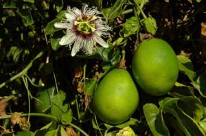La Passiflore dans Plantes passiflora_fruita-300x198