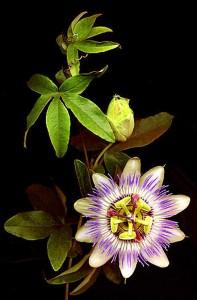 passifloreb2-197x300 anxieux dans Plantes