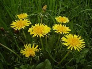 Pissenlit dans Plantes pissenlit01-taraxacum-300x225